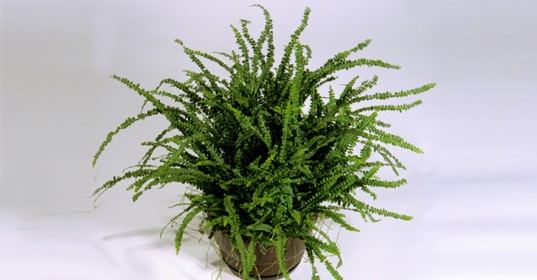 fern-for-indoor-air-purific-537x280
